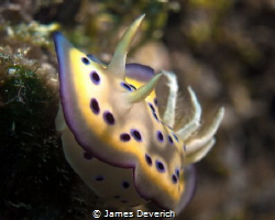 Chromodoris Kuniei by James Deverich