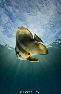 The celestial batfish by Leena Roy