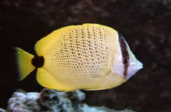 Milletseed Butterflyfish by Glenn Poulain