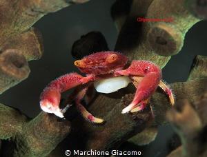 Coral crab . Raja Ampat Nikon D800E, 105 macro , two strobo by Marchione Giacomo