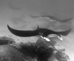 A trio of Mantas at cleaning station, Ningaloo Reef by Penny Murphy