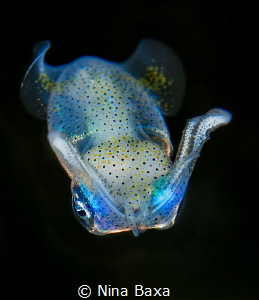 Take a Bow. About 10mm long Grass Squid, suspected - Gra... by Nina Baxa