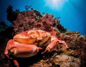 Buster Crab. He is about 10 inches across and was very fe... by Steven Miller