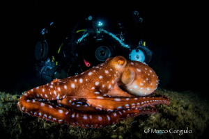 Gabry with Octopus macropus by Marco Gargiulo