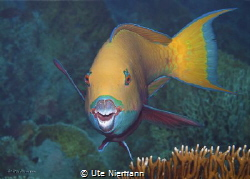 This pretty coloured Parrotfish wants to show me his beau... by Ute Niemann
