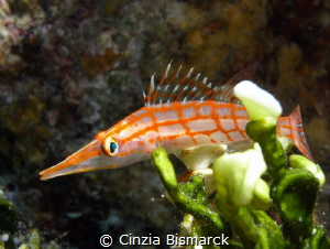 Longnose Hawkfish Oxycirrhites typus by Cinzia Bismarck