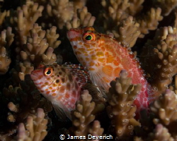 Hawk fish, best buds. by James Deverich