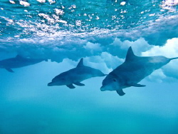 Dolphins in the shorebreak. A few seconds later the wave ... by Jenny Strömvoll