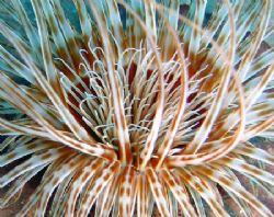 Tube anemone... @ Madeira Is. by João Monteiro