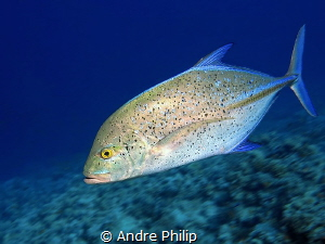 High speed - a bluefin trevally very close by Andre Philip