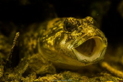 Cottus gobio in the river Divoka orlice - NE Bohemia, res... by Ivan Vychodil
