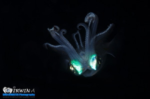 F L Y I N G - S Q U I D Squid (Disambiguation)  Anilao,... by Irwin Ang