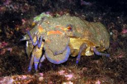 Slipper lobster - Scyllarides latus by David Abecasis