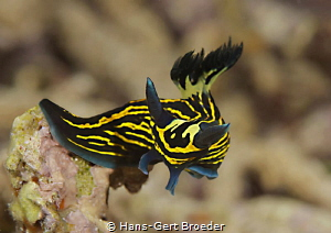 Bordered roboastra 