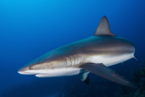 Reef shark with bite marks on pectoral fin by Paul Colley
