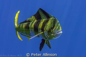 Dorado off the coast of Cancun by Peter Allinson