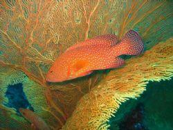 Coral Grouper taken by a sea fan. Similan Islands by Wan Zainal Puteh