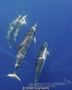 """Blue"" Spinner dolphins in Kona by Ellen Cuylaerts"