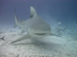 Bullshark swimming by... by Ramon Magana