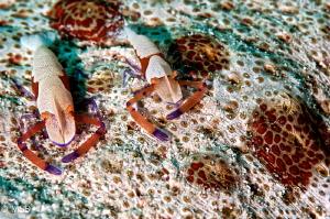 Imperial shrimps on the sea cucumber. by Mehmet Salih Bilal