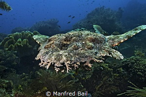 wobbegong swimming by Manfred Bail