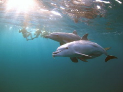 Bottlenose dolphins with puffer fish. by Jenny Strömvoll