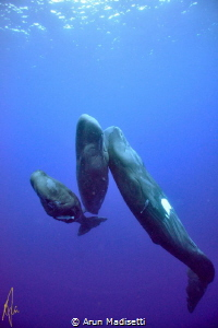 trio of Sperm Whale trying to get a good portrait. (under... by Arun Madisetti