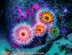 Family of Anemones 90ft down submarine canyon Carmel Cali... by Dave Difiore