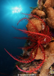 Antedon Mediterranen by Salvatore Ianniello