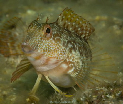 Parablennius pilicornis, South coast of Elba island, Ital... by Ivan Vychodil