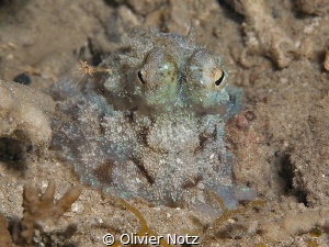 Baby octopus during a night dive. I was around 5 cm big. ... by Olivier Notz