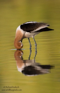 American Avocet preening. by Richard Goluch