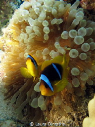 A couple of Red Sea anemonefish in their anemone by Laura Dinraths