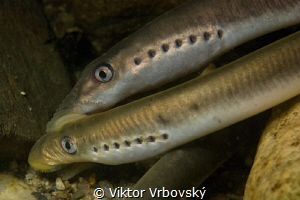 (Lampetra planeri) – European Brook Lamprey by Viktor Vrbovský