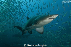 Ragged tooth sand tiger shark (one of many) at Nelson Bay by Gaetano Gargiulo