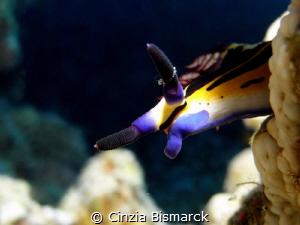 Horns up Red Sea nembrotha Nembrotha megalocera by Cinzia Bismarck