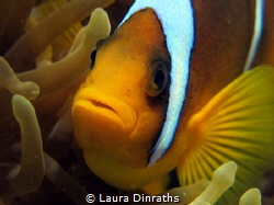Red Sea anemonefish by Laura Dinraths