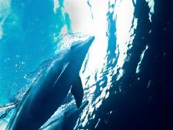 Below. Bottlenose dolphins from under. by Jenny Strömvoll