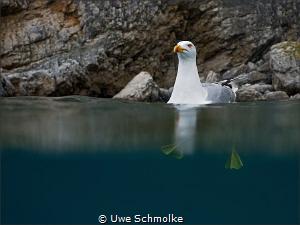 seagull by Uwe Schmolke
