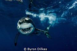HOW ABOUT A HUG? A large, male white shark in 'full attac... by Byron Dilkes