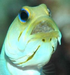 Mael Yellow-headed Jawfish Incubating a mouthful of eggs.... by Bill Miller