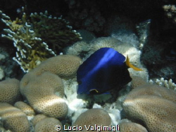 SunBeam over Yellowtail tang by Lucio Valgimigli