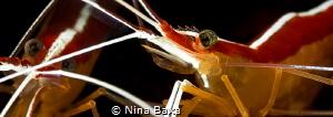 Scarlet Beauticians. Scarlet-Striped Cleaner Shrimp – Gr... by Nina Baxa