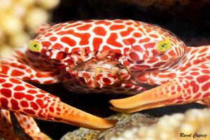 Swiss crab :-) by Raoul Caprez
