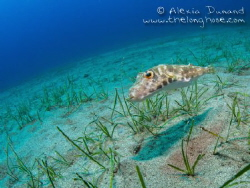 Band-tail puffer fish, Sphoeroides spengleri. Following m... by Alexia Dunand