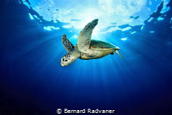 Green turtle against the sun by Bernard Radvaner