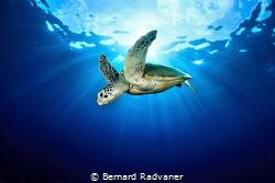 Green turtle against the sun by Bernard Radvaner