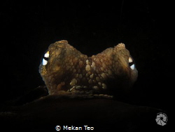 2 x Snoot octopus shot by Mekan Teo
