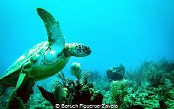 Green Turtle in Akumal, Mexico by Baruch Figueroa-Zavala