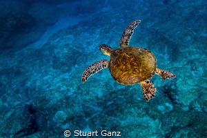 Little Green sea turtle enjoying a morning swin in the bl... by Stuart Ganz